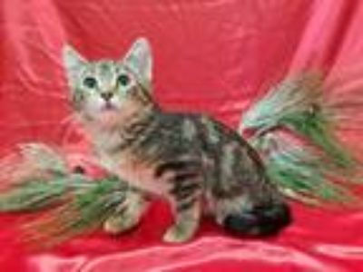 Adopt Snickerdoodle a Brown Tabby Domestic Shorthair (short coat) cat in Redwood