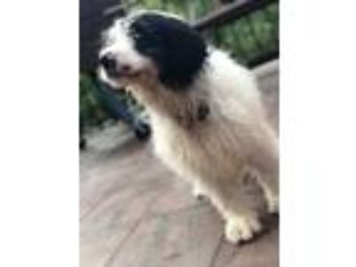 Adopt Bailey a Black - with White Bernese Mountain Dog / Poodle (Standard) dog