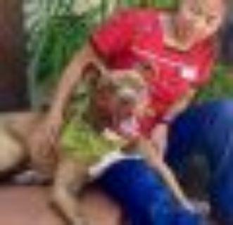 Sweet Kodak American Staffordshire Terrier - Labrador Retriever Dog