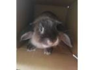 Adopt Timor a American Fuzzy Lop / Mixed rabbit in Oceanside, CA (25729831)