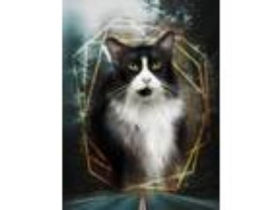 Adopt Sylvester a Norwegian Forest Cat / Mixed (long coat) cat in Ft.