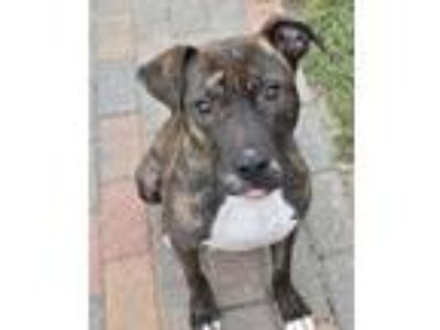Adopt Valerie a Pit Bull Terrier, Hound