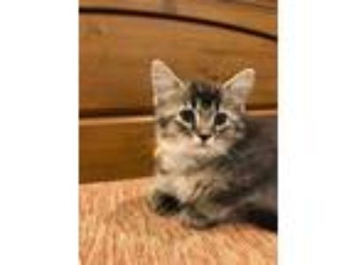 Adopt Mischief a Gray or Blue Domestic Shorthair / Domestic Shorthair / Mixed