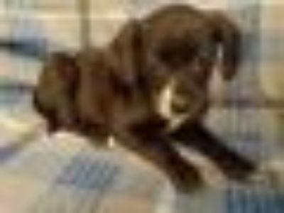 CAMELIA Chihuahua - Terrier Dog