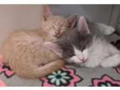 Adopt Yoshi and Luigi a Domestic Shorthair / Mixed (short coat) cat in Redwood