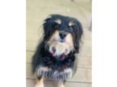 Adopt Eleanor a Yorkshire Terrier, Wirehaired Terrier