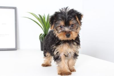Yorkshire Terrier PUPPY FOR SALE ADN-99512 - Togan Male Yorkie Puppy