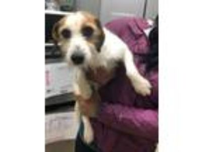 Adopt Harold a Jack Russell Terrier, Beagle