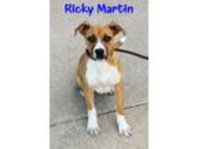 Adopt Ricky Martin a Tan/Yellow/Fawn - with White Boxer / Black Mouth Cur /