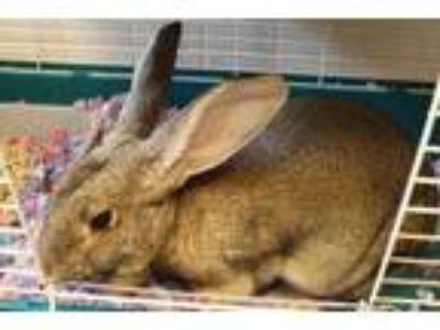 Adopt 41982845 a Chocolate Other/Unknown / Other/Unknown / Mixed rabbit in
