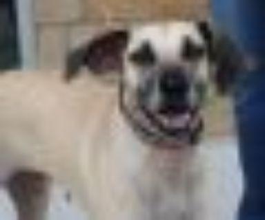 Gracie Catahoula Leopard Dog - Labrador Retriever Dog