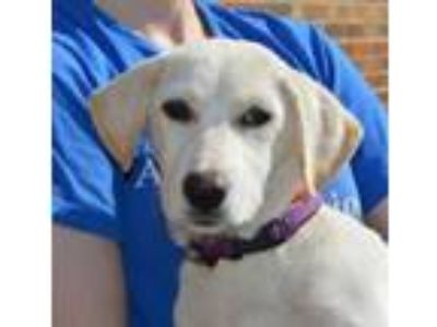 Adopt Justine a Collie, Labrador Retriever