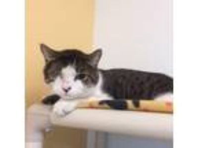 Adopt Chevy a White Domestic Shorthair / Domestic Shorthair / Mixed cat in
