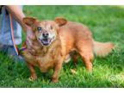 Adopt Red a Corgi, Terrier