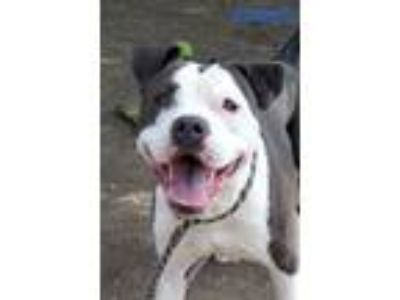 Adopt Rayden a White - with Gray or Silver Pit Bull Terrier / Mixed Breed