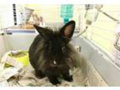 Adopt MAX a Black Other/Unknown / Mixed rabbit in Vero Beach, FL (25849591)
