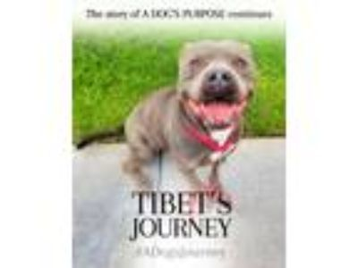 Adopt Tibet a American Staffordshire Terrier, Pit Bull Terrier