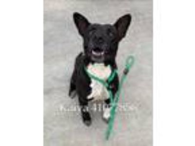 Adopt Kaiya a Black American Pit Bull Terrier / Mixed dog in Fort Worth