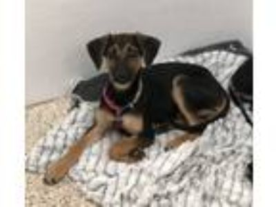 Adopt Talia a Black - with Tan, Yellow or Fawn Shepherd (Unknown Type) / Mixed