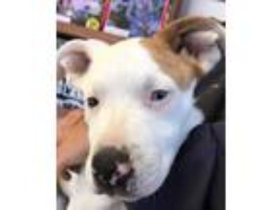 Adopt Butterbean a White Catahoula Leopard Dog / Boxer / Mixed dog in Coos Bay