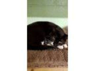 Adopt Tac a Domestic Short Hair