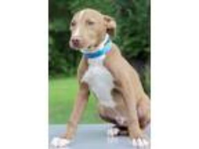 Adopt Hudson a Tan/Yellow/Fawn - with White Labrador Retriever / Mixed dog in