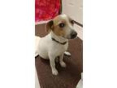 Adopt Pelona a Jack Russell Terrier / Beagle dog in Washington, DC (25587563)
