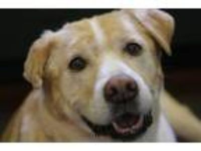 Adopt Issac a Tan/Yellow/Fawn Labrador Retriever / Mixed dog in Independence