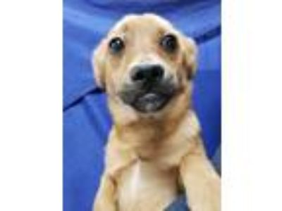 Adopt Curly a Brown/Chocolate Terrier (Unknown Type, Small) / Mixed dog in