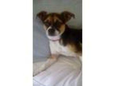 Adopt Dante a Tricolor (Tan/Brown & Black & White) Rat Terrier / Pug / Mixed dog