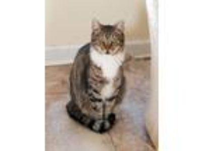 Adopt Donatello a Domestic Shorthair cat in Smyrna, GA (25659512)