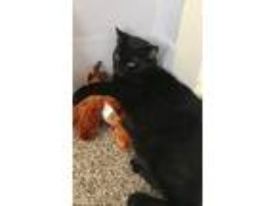 Adopt Drax a Black (Mostly) American Shorthair / Mixed cat in Vancouver