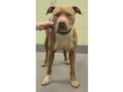 Adopt Terry a Tan/Yellow/Fawn American Pit Bull Terrier / Mixed dog in Longview