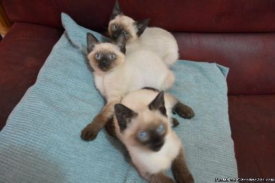 Outstanding Siamese Kittens available.