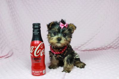 Exceptionally perfect yorkie puppies!