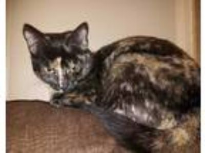 Adopt Angel a Domestic Short Hair
