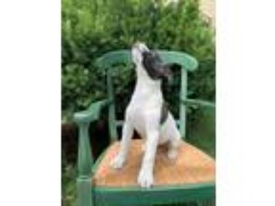 Adopt Rommie a Jack Russell Terrier