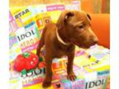 Adopt Petals a Brown/Chocolate Labrador Retriever / American Pit Bull Terrier /