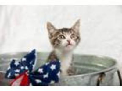 Adopt Nick a Domestic Short Hair, Tabby