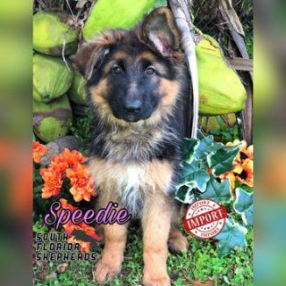 German Shepherd Dog PUPPY FOR SALE ADN-102257 - Imported Long Coat German Shepherd puppy