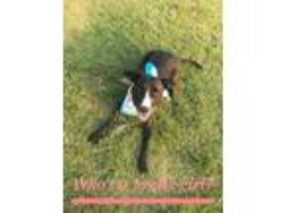 Adopt Delilah a Pit Bull Terrier, Border Collie