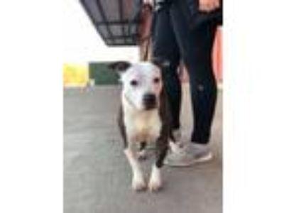 Adopt Duchess a Pit Bull Terrier