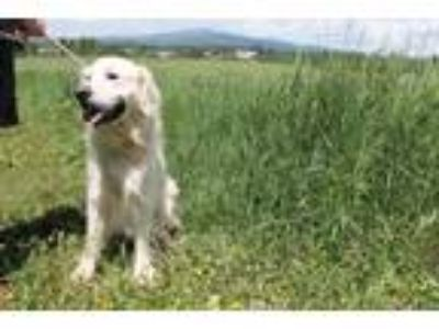 Adopt Scout a Tan/Yellow/Fawn Golden Retriever / Mixed dog in McCall