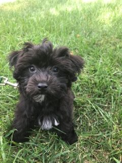 Yo-Chon PUPPY FOR SALE ADN-99290 - Puppy