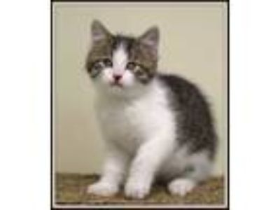 Adopt Trace a Domestic Short Hair
