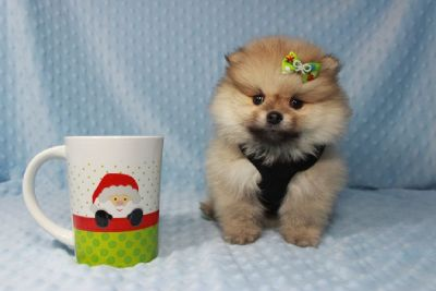 Teacup Teddy Bear Pomeranian Puppy available in Las Vegas/Henderson