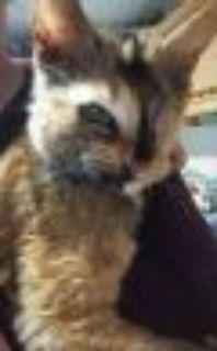 Fiona Domestic Short Hair Cat