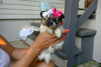 Pomeranian PUPPY FOR SALE ADN-88359 - Adorable Pomeranian Pups