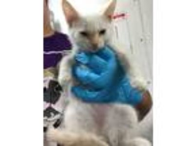 Adopt Marie a Domestic Shorthair / Mixed (short coat) cat in Chico