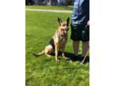 Adopt Storm a German Shepherd Dog